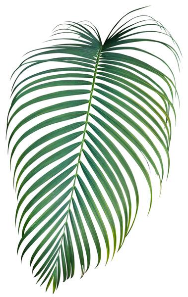 palma liść