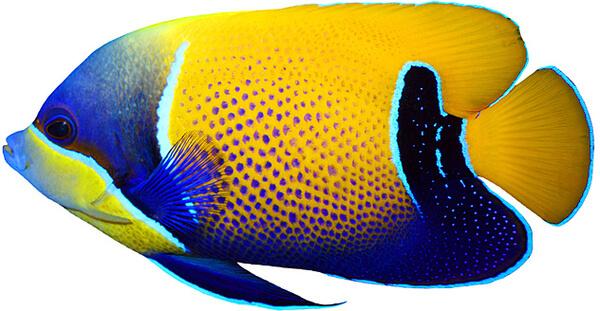 zółto-niebieska ryba w tle