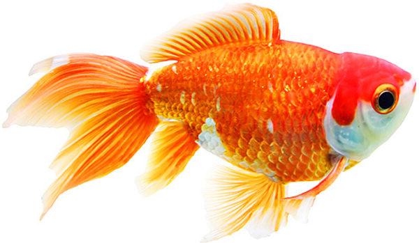 złota rybka w tle